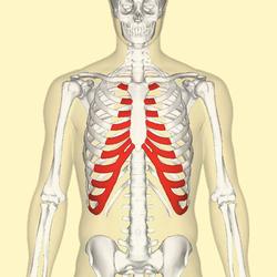 Costal cartilage - Wikipedia