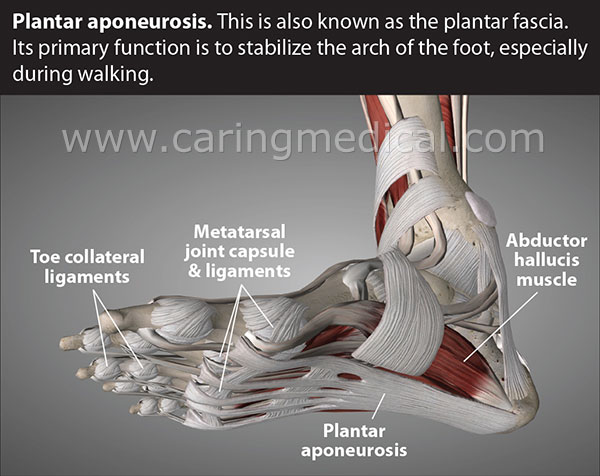 This picture illustrates the interaction between toe ligaments, Metatarsal ligaments, abductor hallucis muscle and plantar aponeurosis