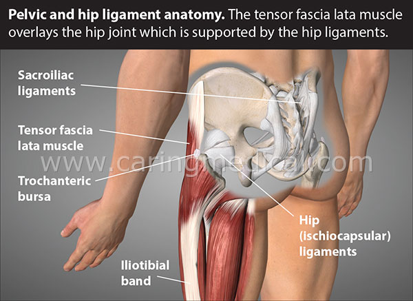 Pelvic and hip ligaments