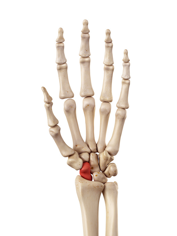 This picture illustrates the location of the scaphoid bone, one of the small carpal bones that sits below the thumb joint. The  scaphoid bone is one of the small carpal bones that sits below the thumb joint. Research has shown that repeated local glucocorticoid injections can damage even destroy this bone.
