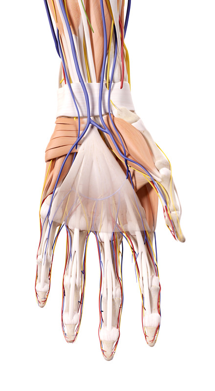 The wrist's tendon sheath is illustrated