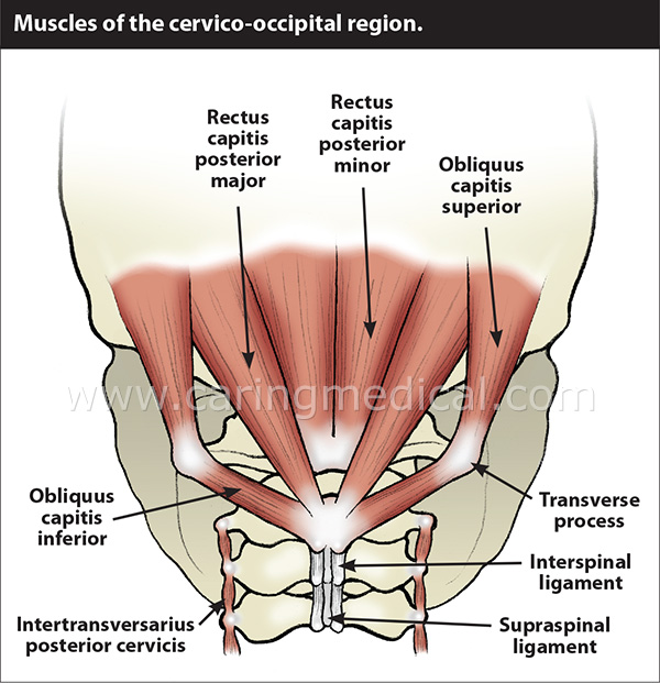 occipital muscles