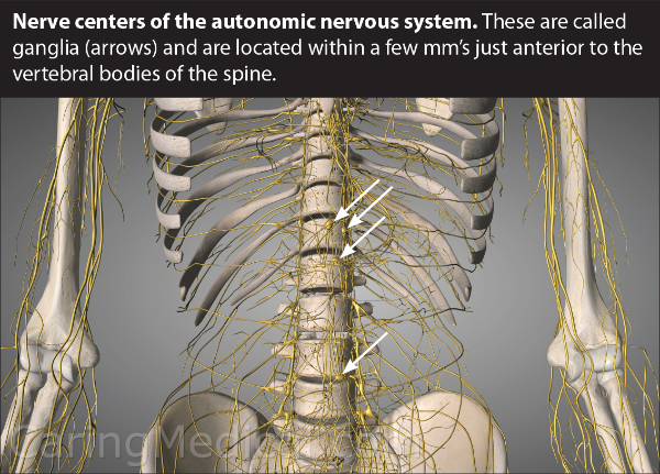 "We see how the nerves and the ganglia, (the ganglia are displayed by the arrows), run around, through and in between the vertebrae of the spine. What you are seeing is the hard wiring of your nervous system and its communication system. If the spine is unstable, if pressure is exerting on teh nerves and ganglia, the communication system starts ""dropping calls,"" the conversation becomes garbled, hard to understand. These communication problems lead to symptoms, diseases and a myriad of diagnosis."