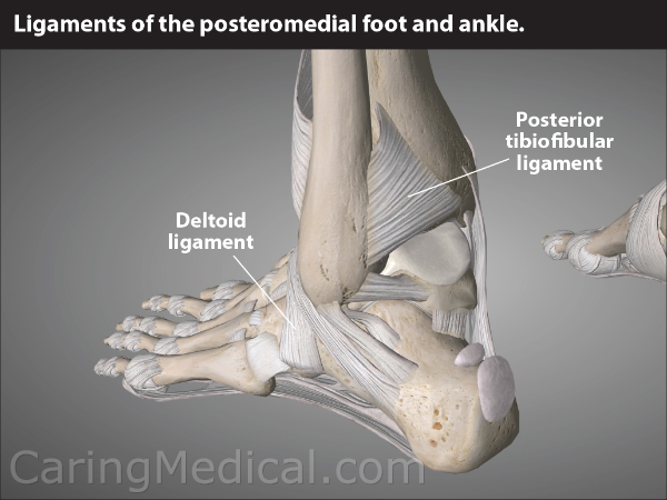 What are we seeing in this image?The ligaments of the ankle that provide stability and structural support.