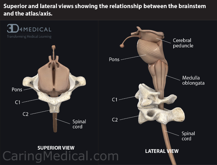 The brain stem and spinal cord in relation to the C1 and C2. The medulla oblongata, as just outlined, plays a vital role in communicating signals between the spinal cord and the brain that controls heartbeat, respiration and the nausea center among other functions.