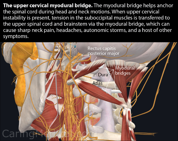 The muscles of the neck and the upper cervical myodural bridge.